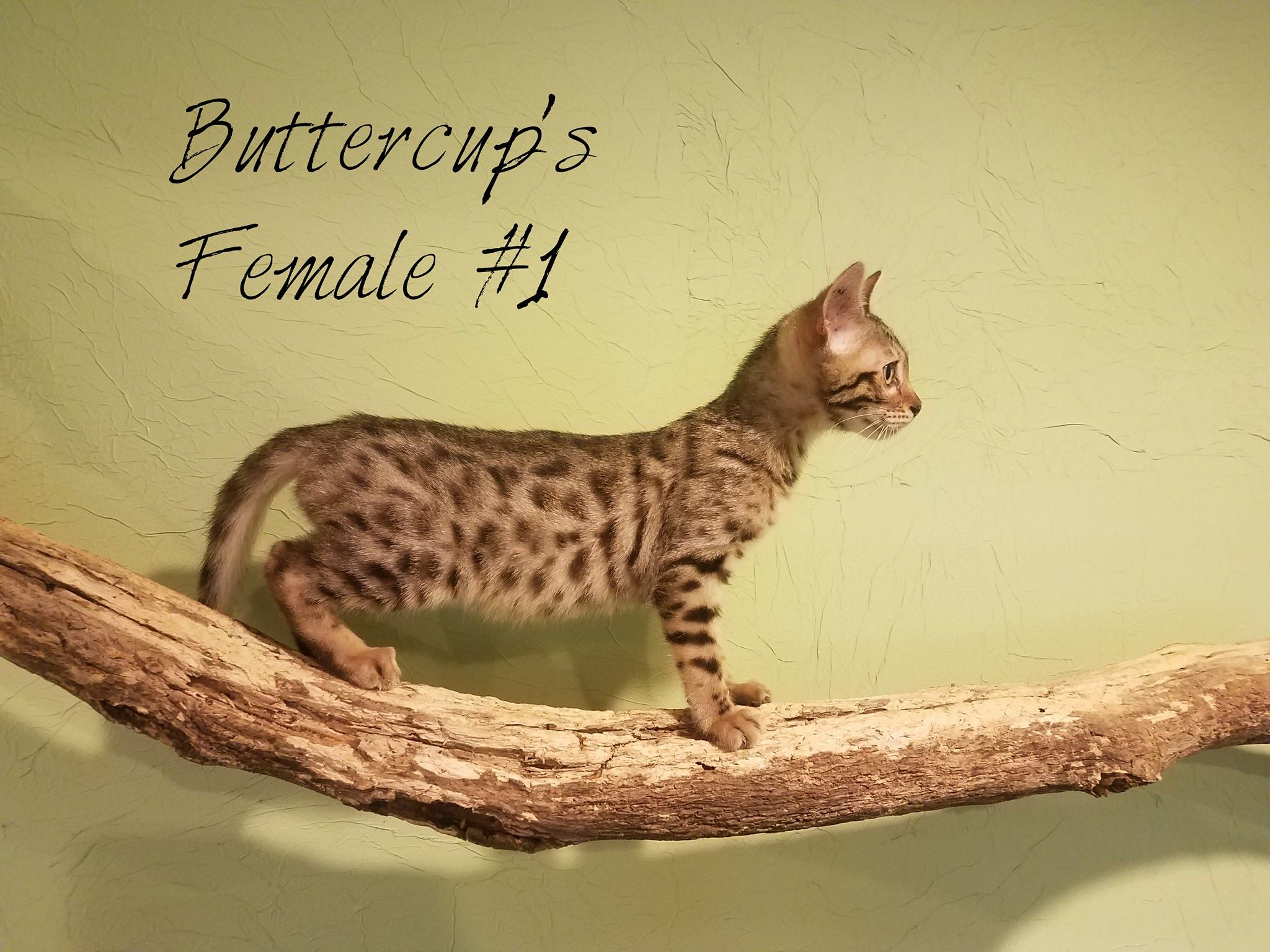 Bengal cat for sale lincoln ne