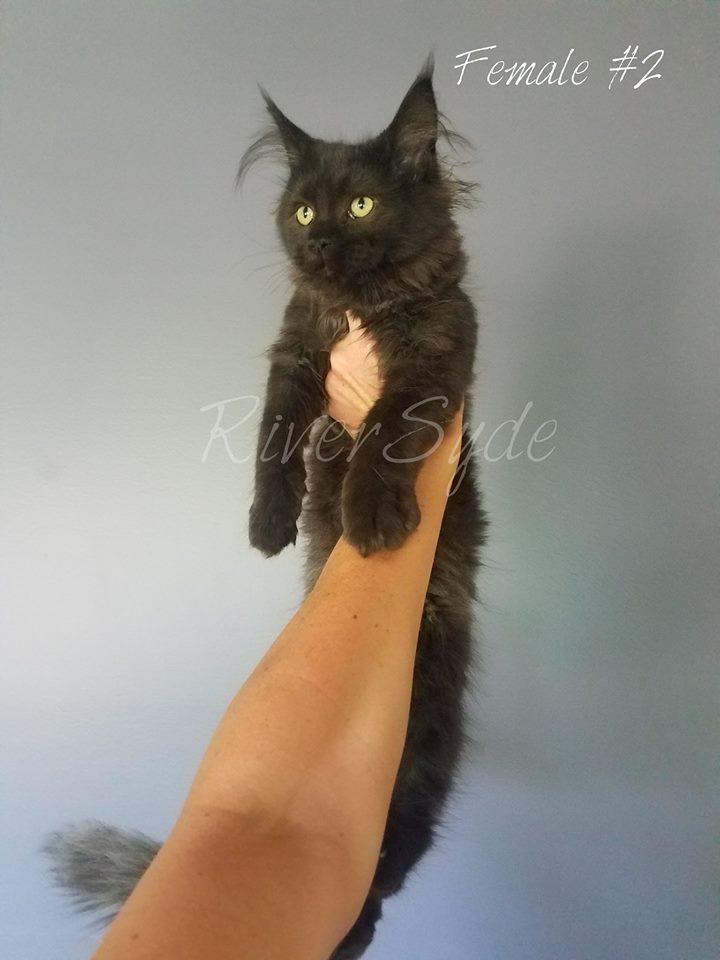 riversyde cattery ne kittens lincoln male